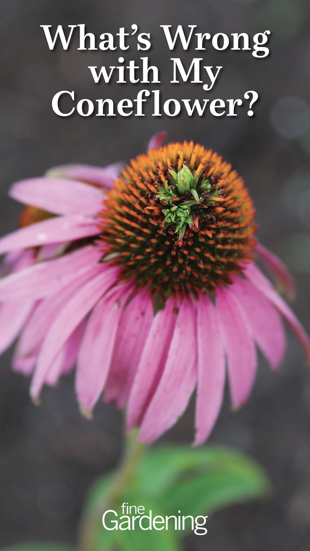 What S Wrong With My Coneflower Finegardening In 2020 Fine Gardening Spring Garden Seasonal Garden