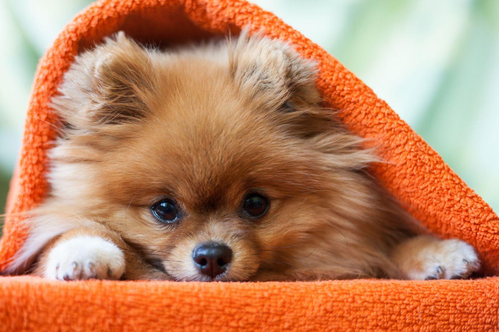 My Dogs New Tab Puppies Funny Pomeranian Puppy Lazy Dog Breeds
