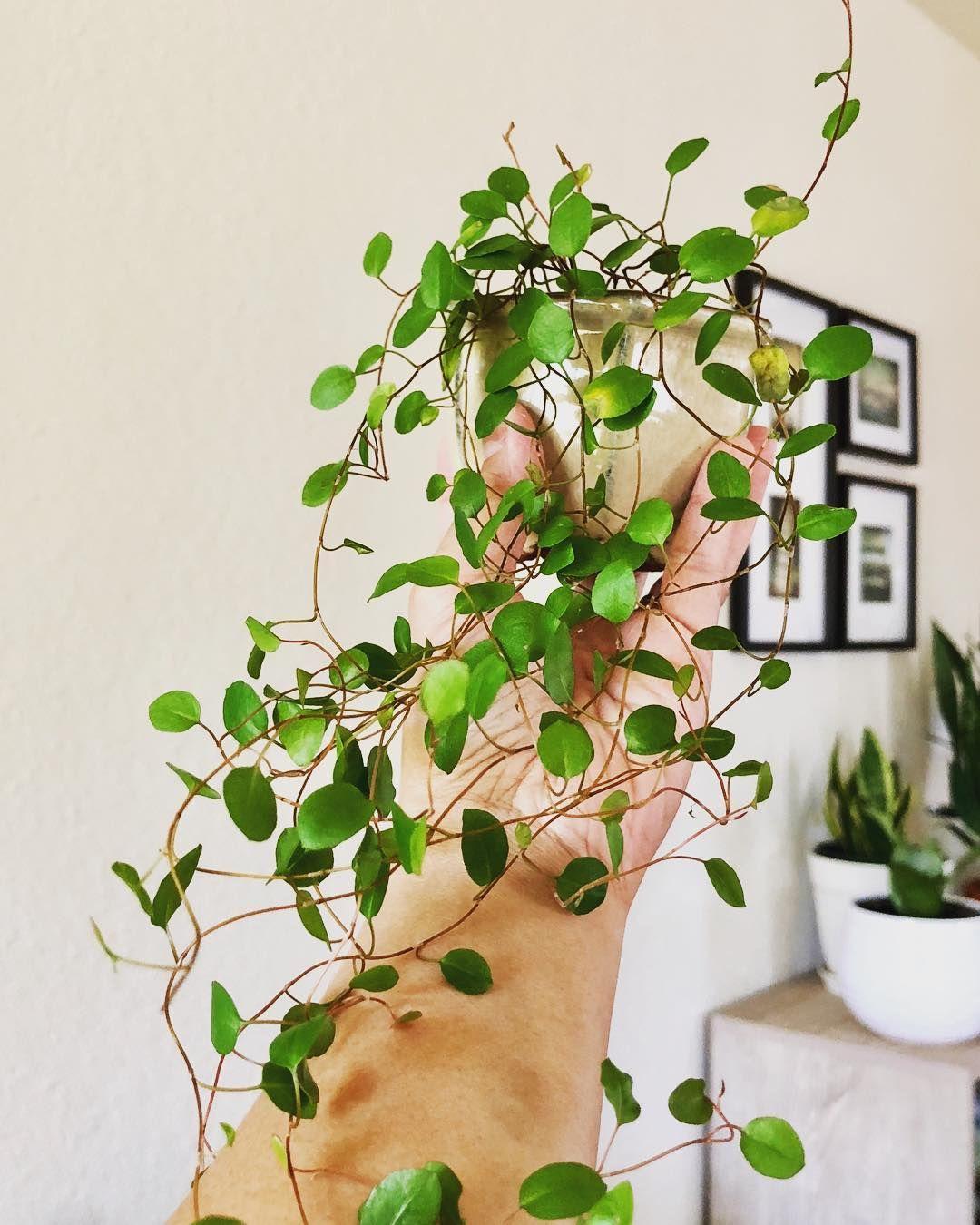 House Plants Vines Indoor