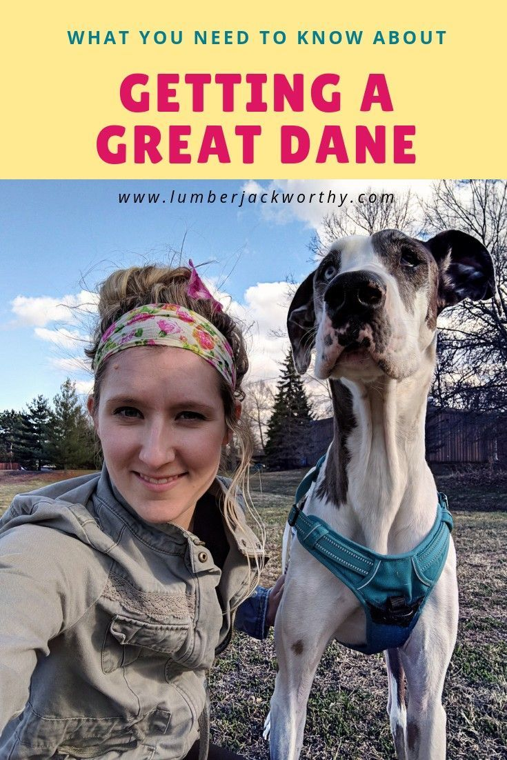 Blue Great Dane Puppies For Sale In Ga Ideas