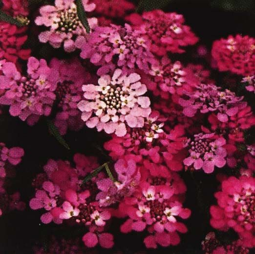 Candytuft Full Sun His Low Bushy Plant Produces Mounds Of Beautiful Ice White Pink Or Lilac Fl Seed Paper Plantable Seed Paper Different Types Of Flowers