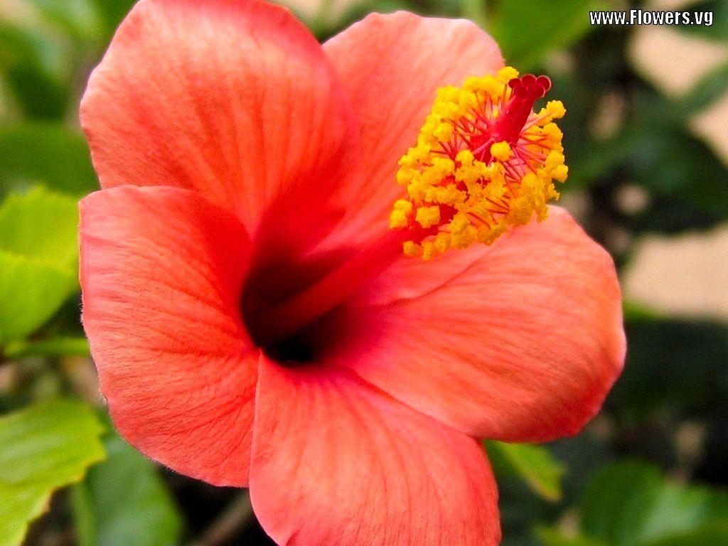 flowers | TheNatureHD.com :: Peach Hibiscus Flowers – WallpaperThe ...