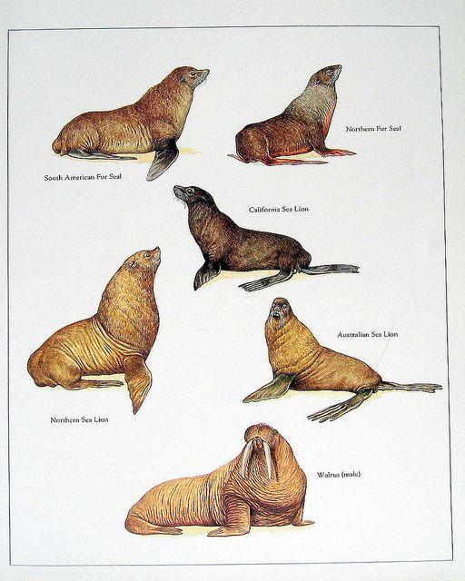 Vintage Animals Print Animals Wild Sea Lion Animals
