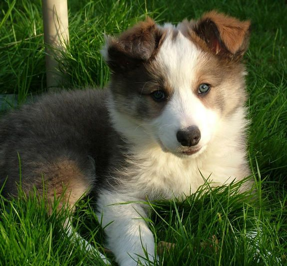 Border Collie Colours Collie Puppies For Sale Border Collie Colors Border Collie Puppies