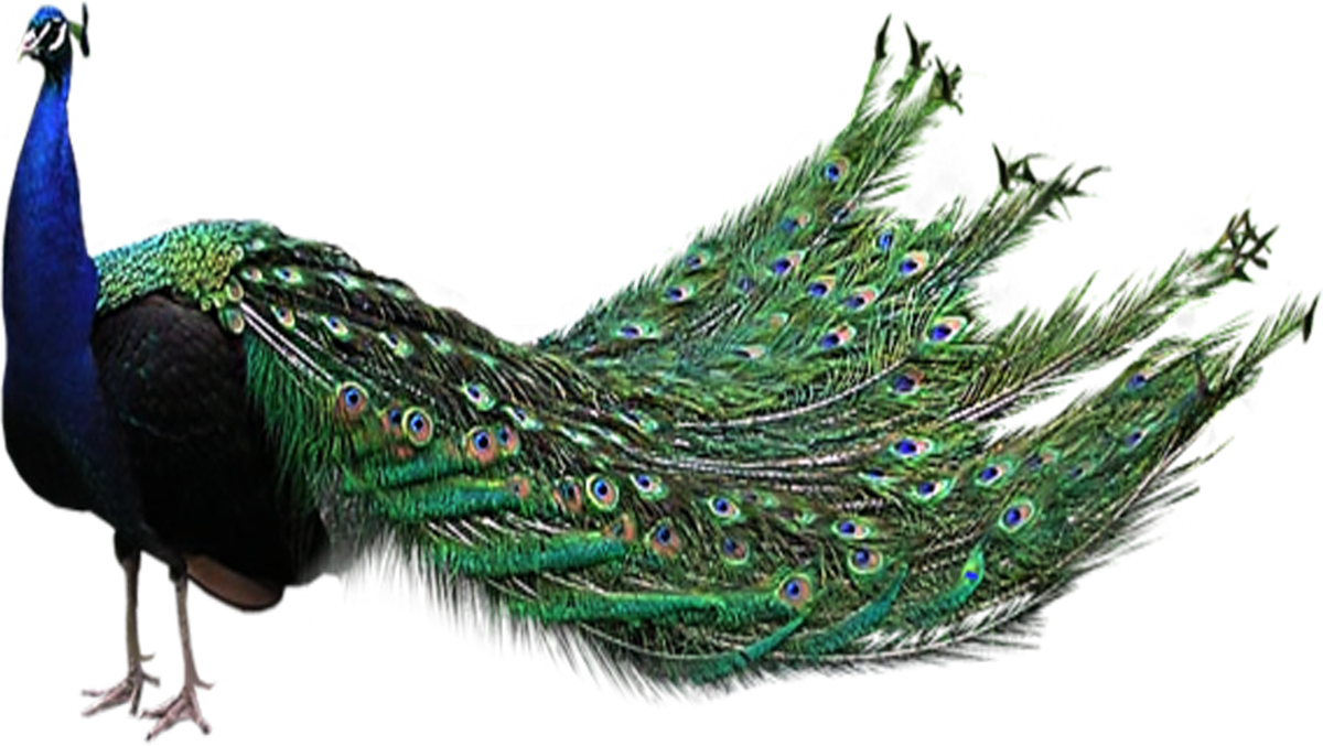 Peacock Png File Peacock Magical Images Birds