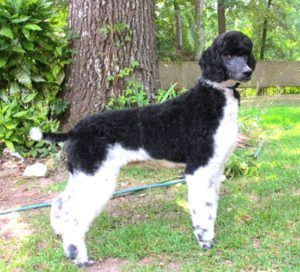 Standard Poodle Puppies For Sale   Smith Standard Poodles