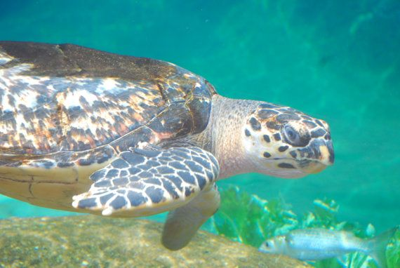 Sea Turtle Swimming through the Aquarium by WilliamGriswoldPhoto, $12.00 http://www.facebook.com/williamgriswoldphotography/