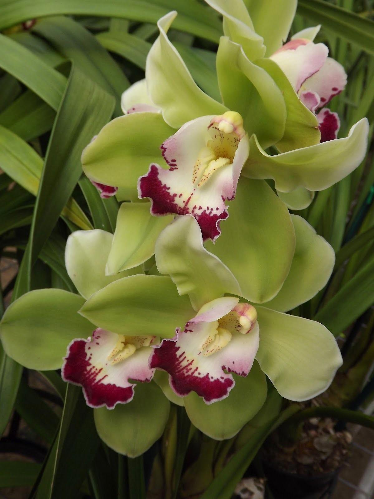 Cymbidium Orchid Cymbiflor Montage X Valley Zenith Discus These Days Cymbidium Orchids Are The Result Of Complex Hybrids Orquideas Cymbidium Orquideas Orquidea
