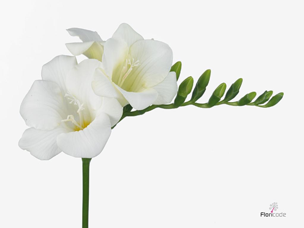 Buy Freesia Wonderfull White 50cm Per Stem 19gr Petaldriven Com Freesia Flowers Stem