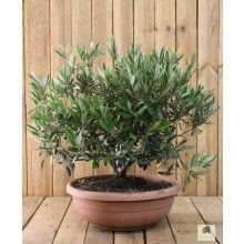 Olivenbaum Mediterrane Pflanzen Olivenbaum Mediterraner Garten