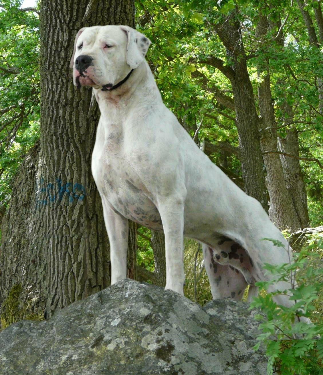 Dogo Argentino Giant Dogs Large Dog Breeds Dogo Argentino Dog