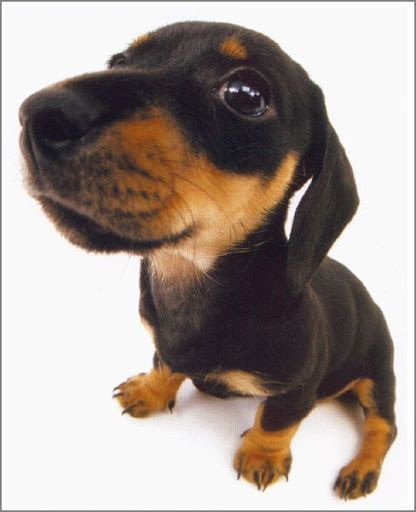 Pin On Dachshunds Board 7 The Sweetest Li L Bundles Of Love