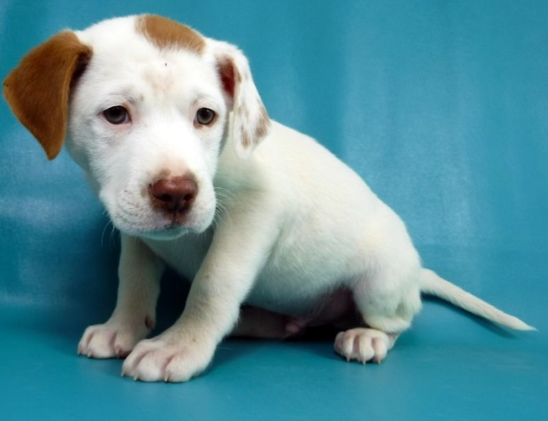 Adopt Fig on #mortongrove Fig is an adoptable american bulldog searching for a forever family near Morton Grove, IL. Use Petfinder to find adoptable pets in your area. #mortongrove