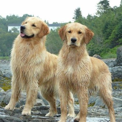Male Or Female Dog Which Is Best For Your Household Golden