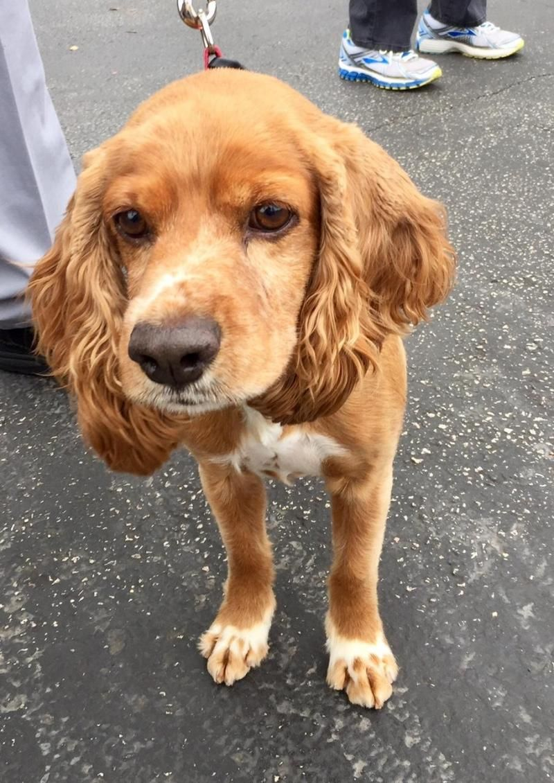 Adopt Gatsby On Petfinder American Cocker Spaniel Dog Adoption