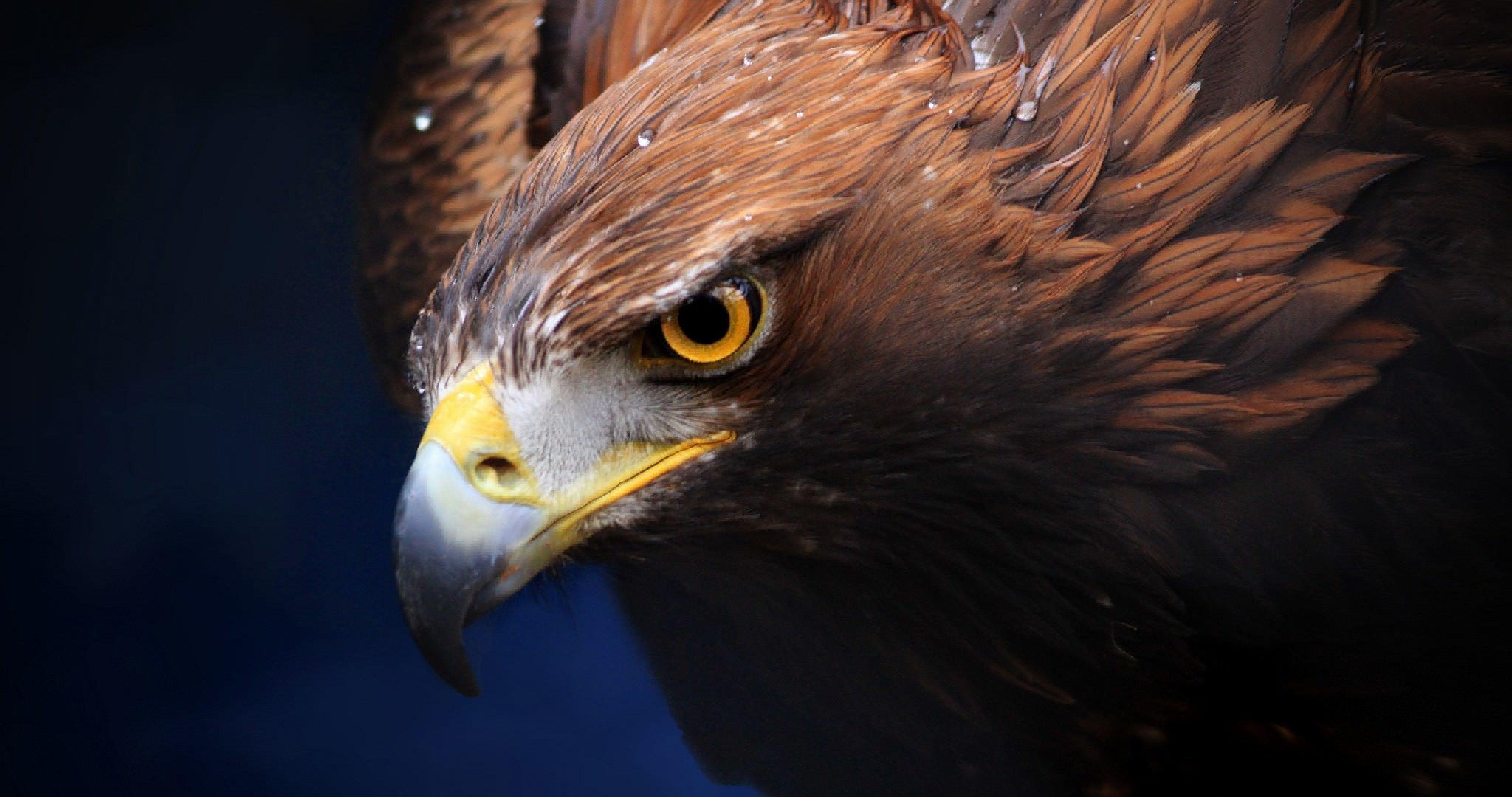 golden eagle 4k ultra hd wallpaper ololoshenka eagle