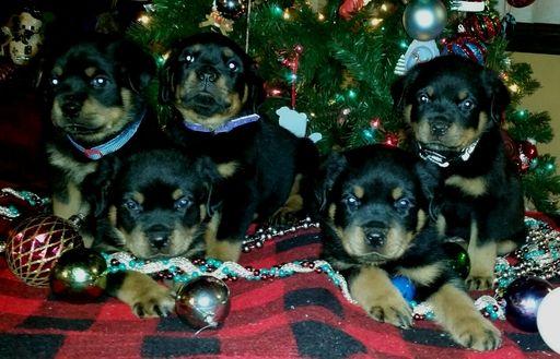 Rottweiler Puppy For Sale In Spring Hill Fl Adn 33646 On