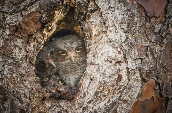Owls in the Tree by Graham George Comedy Wildlife Photography Award Winners: Photos : Discovery News