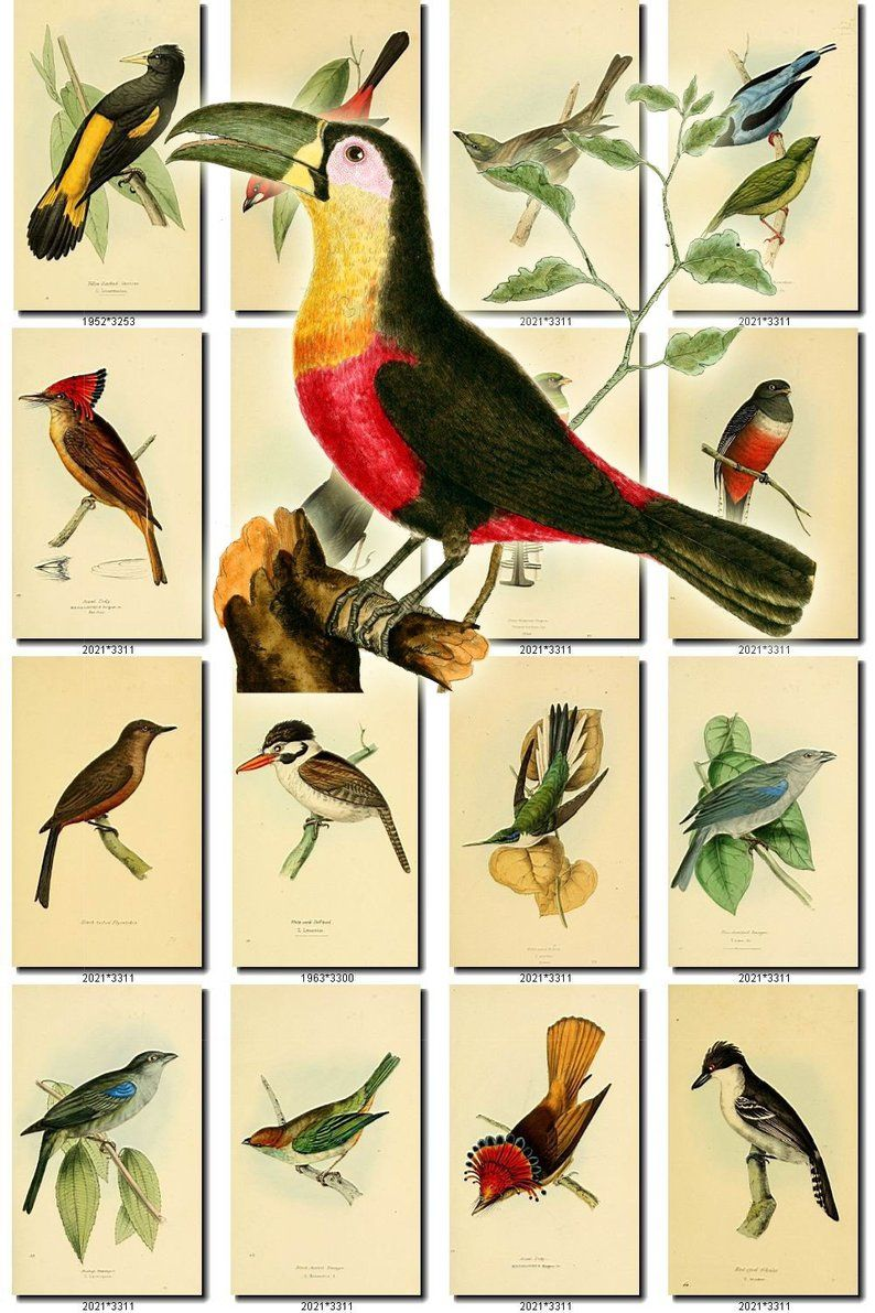 Birds 25 Collection Of 229 Vintage Pictures Cassican Tody Tanager