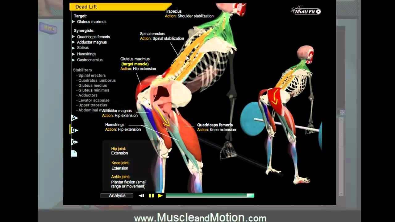 Deadlift Anatomy. Learn the proper movement of the joints, muscles ...