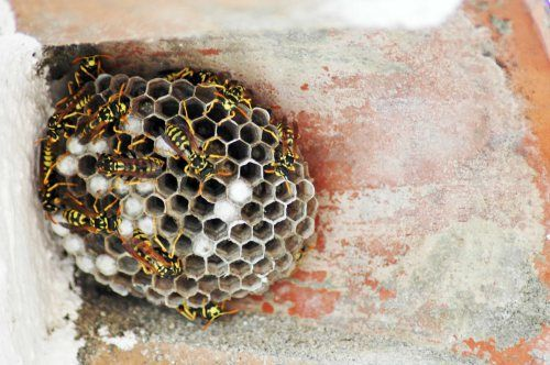 The wasps hunt and eat a variety of insects. Beautifully crafted nest of a paper wasp colony.