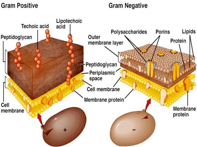 Gram negative and positive cells---This diagram displays both gram ...