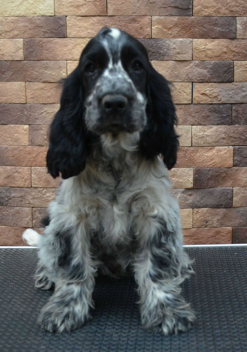 Norka The English Cocker Spaniel Waiting Her Forever Home