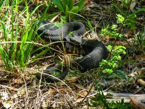 The Arizona black rattlesnake is decreasing in population numbers but is denied protective rights because they are not considered an endangered species. Sign the petition below to demand the Arizona black rattlesnake be placed under the protection of the government and on the endangered species list.