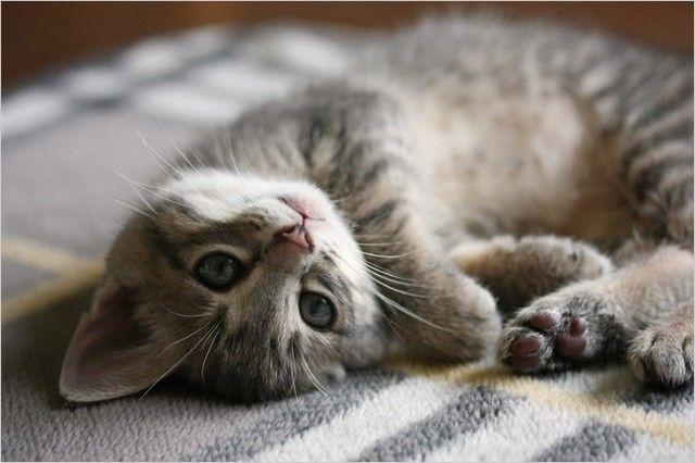 Pretty gray kitty