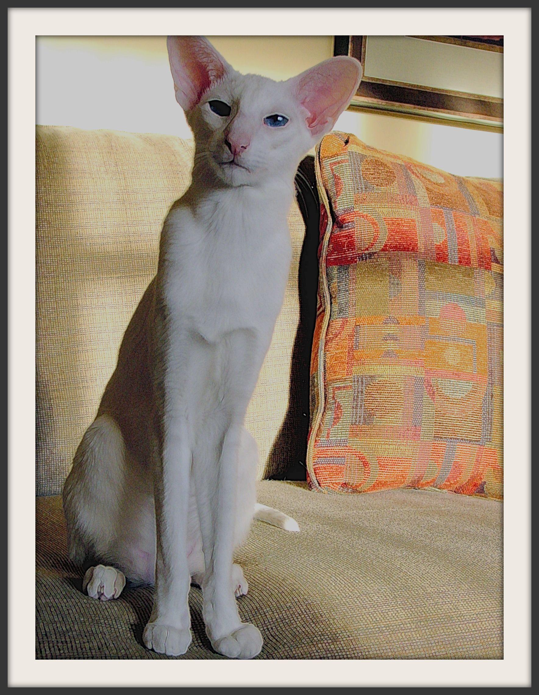 Marty Aka Summermorn S My Favorite Martian Is My Blue Eyed White Oriental Shorthair Oriental Shorthair Pretty Cats Oriental Cat
