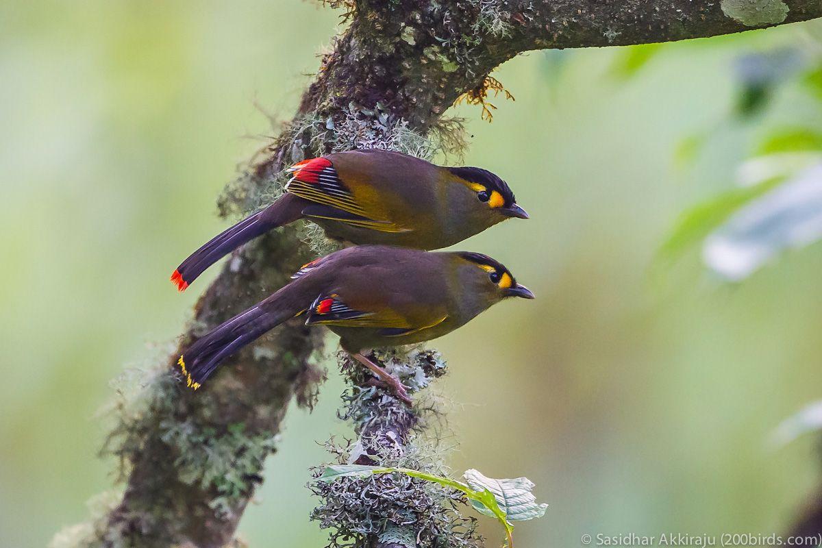 Bugun Liocichla (Liocichla bugunorum) China | Birds, Reptiles and ...
