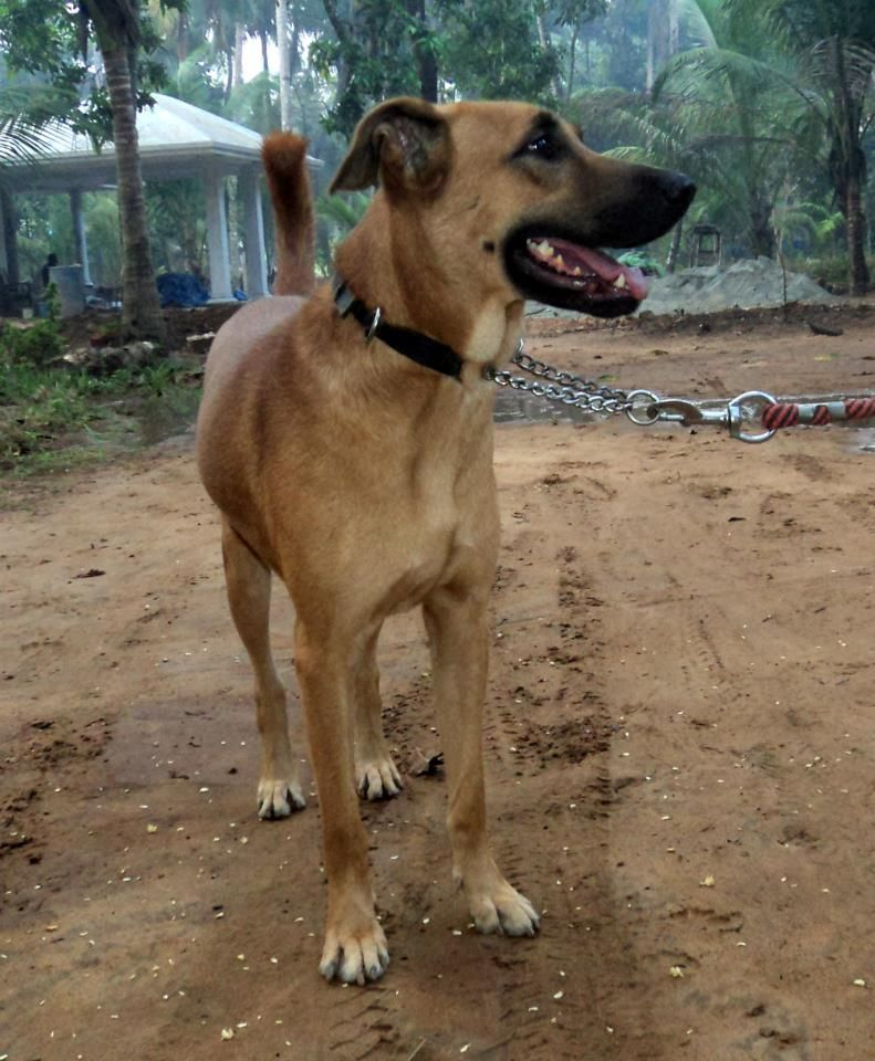 Combai Indian Bear Hound Dog Kombai Mostly Used As A Guard