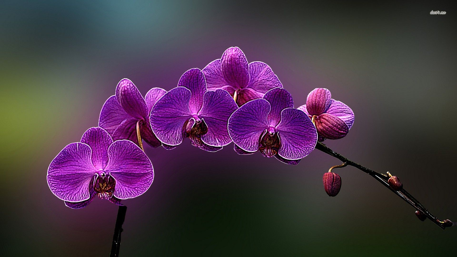 Orchids Chemistry Caring For Indoors In Water Purple Orchid Flowers