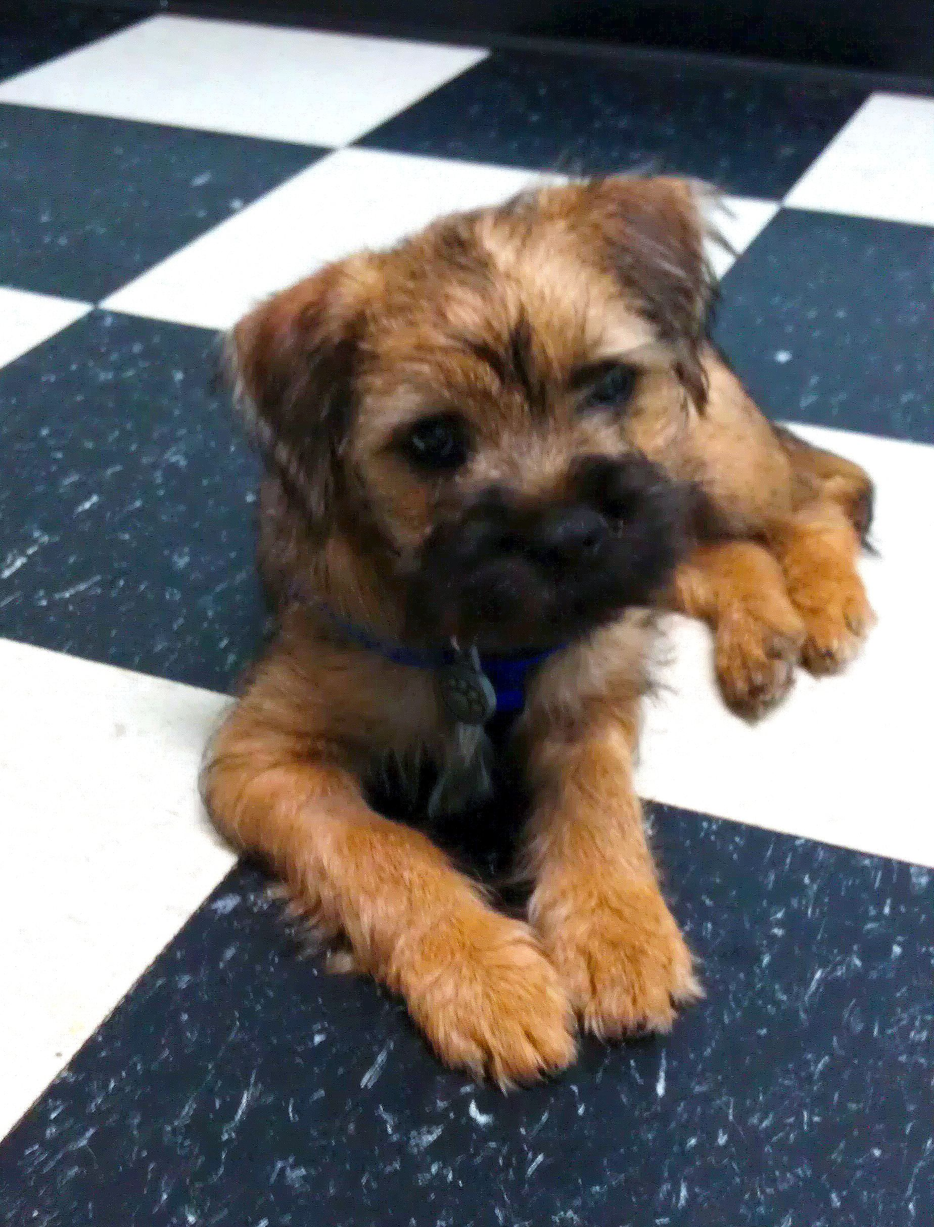 Border Terrier Puppy ScooterBlue Copyright Kacreasa