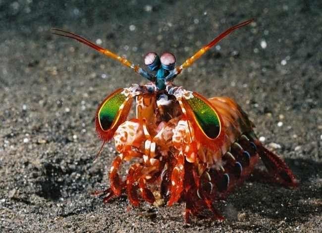 """Animales extraños - Langostas mantis  Esta colorida langosta pasa la mayor parte de su vida escondida, por lo que aún no se sabe mucho sobre ella. Recientemente han recibido el nombre de """"asesinos de camarones"""" debido a sus poderosas garras y su increíble habilidad para cazar."""