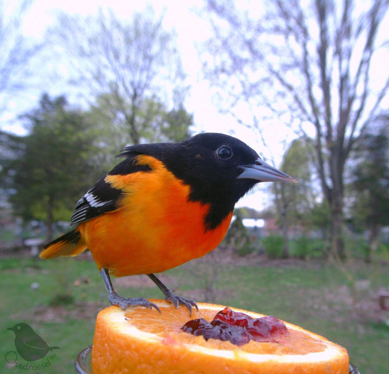 Ostdrossel™ Bird watching, Bird photography, Australian