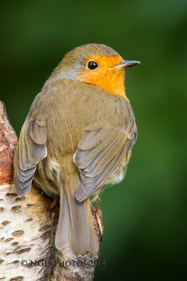 Robin By Nigel Dell 500px Beautiful Birds Pet Birds European Robin