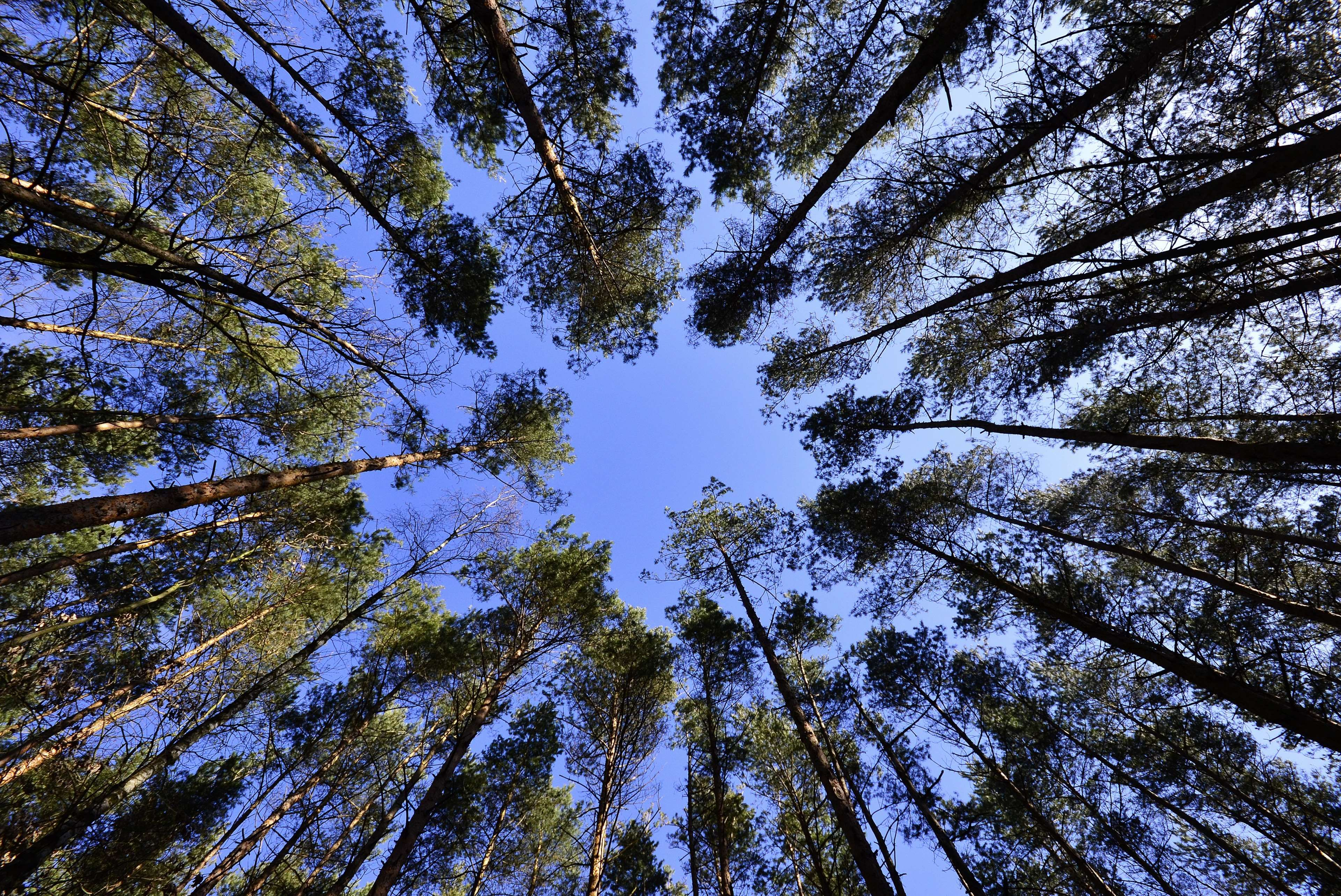 Forest Nature Sky Trees Worms Eye View 4k Wallpaper Worms