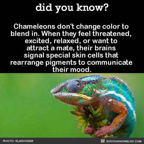 Chameleon what is personality a Symbolic Chameleon