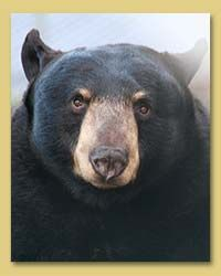 Adopt a Bear via North Island Wildlife Recovery Association