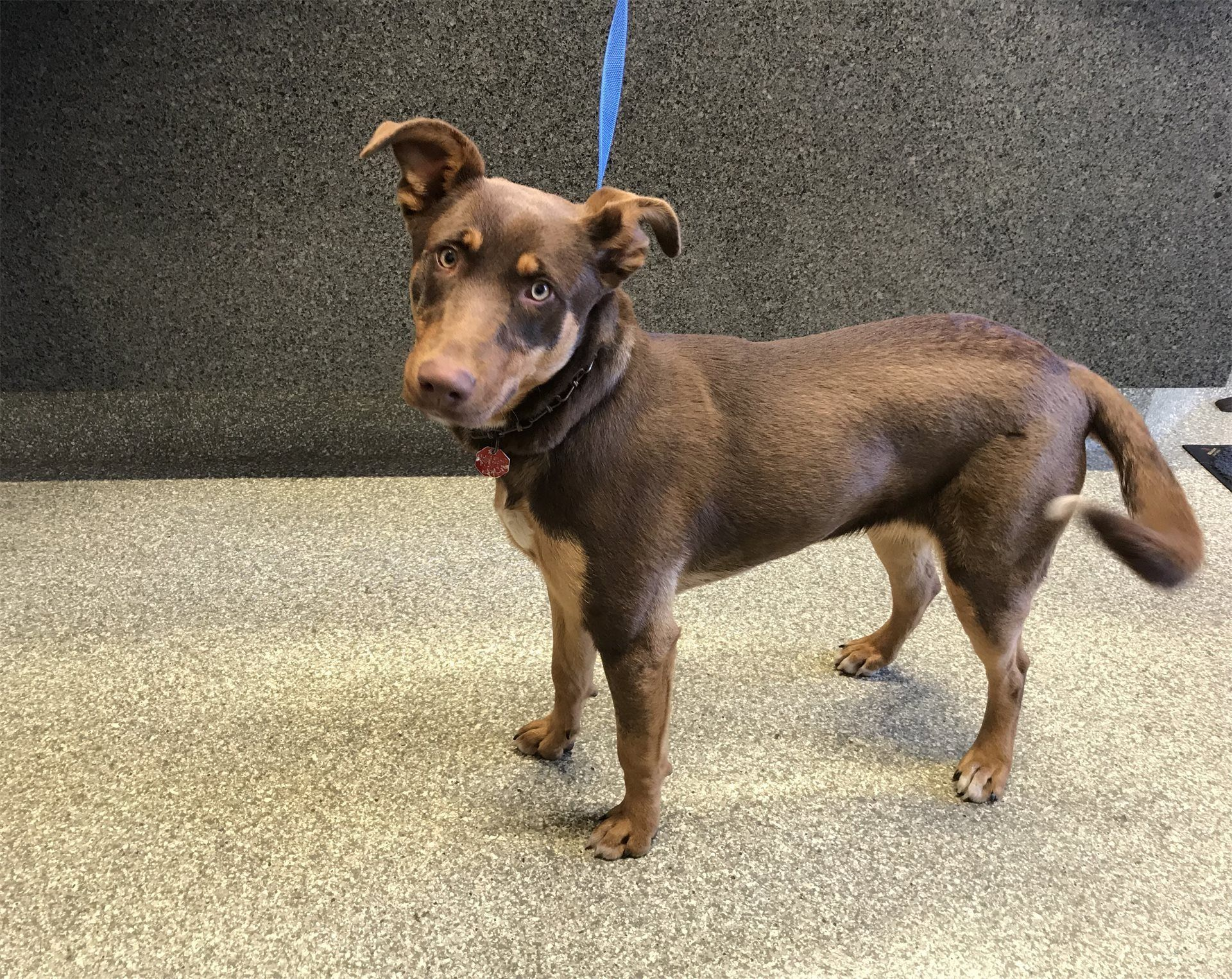 Doberman Pinscher Dog For Adoption In Pomona Ca Adn 818444 On