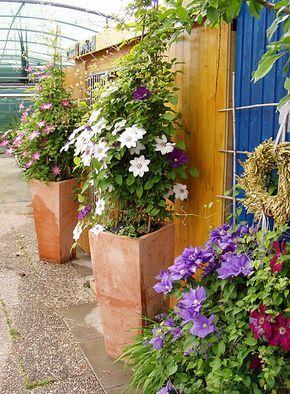 Pflanz- & Pflegeanleitung Clematis als Kübelpflanze #innenhofgestaltung
