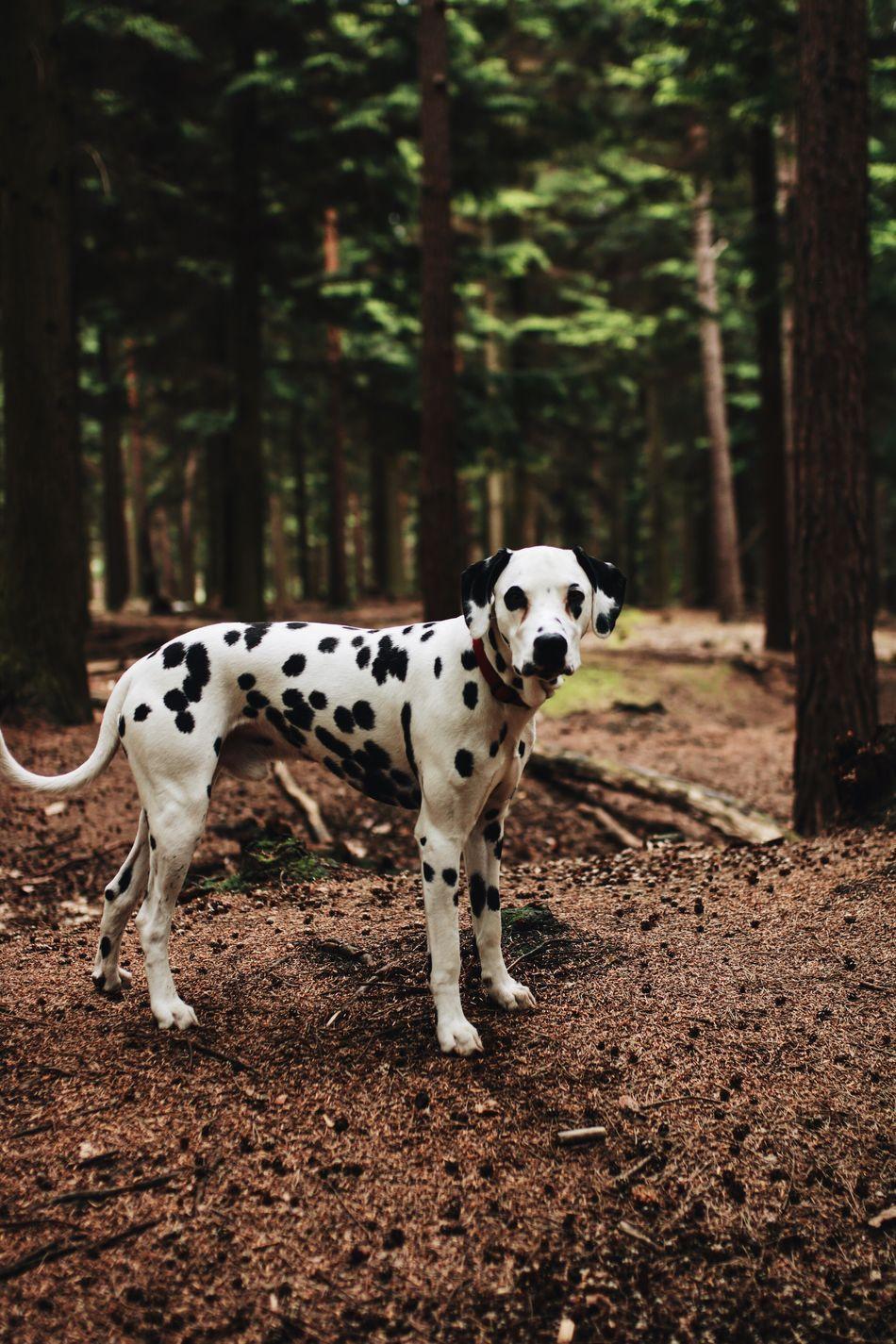 Dalmatian Dog Animal Themes Spotted Mammal Domestic Animals Pets