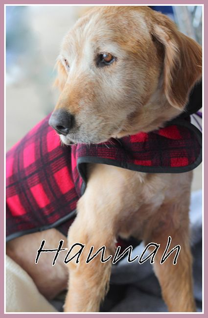 This Is Hannah Approx 9 10 Yrs She Had Her Coat Shaved Due To A Bacterial Skin Infection For Which She Dog Adoption Golden Retriever Golden Retriever Rescue