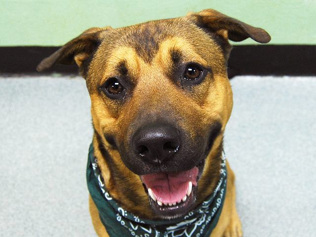 Safe!! Pulled by Shore Animals Volunteer Enterprise (S.A.V.E.) Please honor your pledge: http://save.rescuegroups.org/info/donate Manhattan Center -P My name is HUNTER. My Animal ID # is A1019625. I am a male brown and black germ shepherd and pit bull mix. The shelter thinks I am about 2 YEARS I came in the shelter as a OWNER SUR on 11/03/2014 from NY 10029, https://www.facebook.com/Urgentdeathrowdogs/photos/a.617942388218644.1073741870.152876678058553/903134456366101/?type=3&theater
