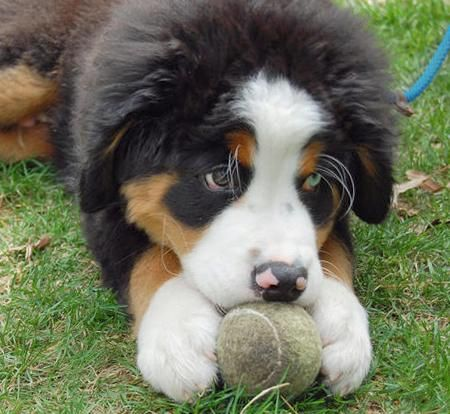 A Bernese Mountain Dog Just Like This One Will Be Mine One Day