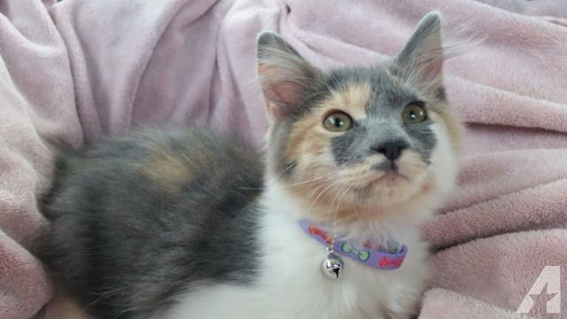Kitten Rare Dilute Calico Kitten 5 Months Old 75 Calico Kitten Kitten Cat Lovers