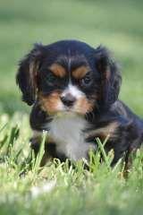 Cavalier King Charles Spaniel Puppies Cavalier King Charles Spaniel Pu King Charles Cavalier Spaniel Puppy Cavalier King Charles Cavalier King Charles Spaniel