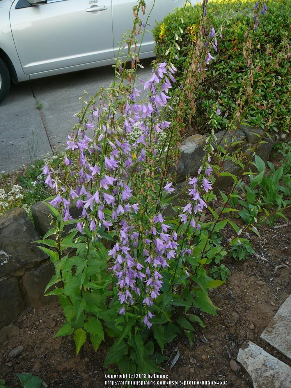 Entire Plant Photo Of Chimney Bellflower Campanula Pyramidalis Uploaded To Garden Org By Duane456 Plants Bellflower Campanula