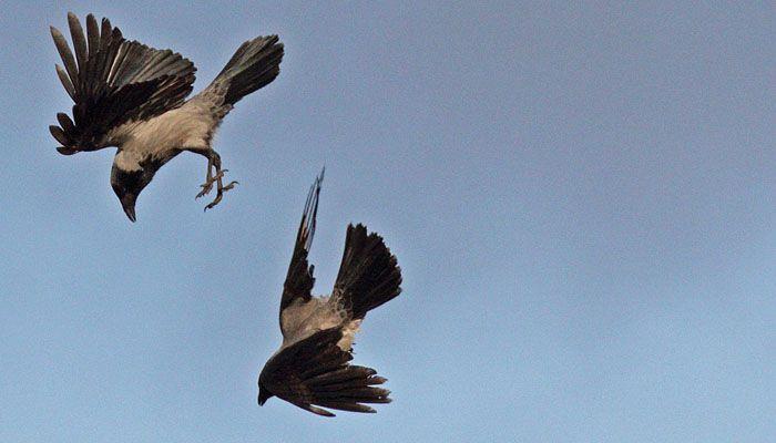 Iidesjärven lintuja: varis